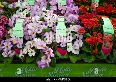 Hello Spring Garden Centre display of Primroses and Primulas flowering and ready for planting - Stock Image
