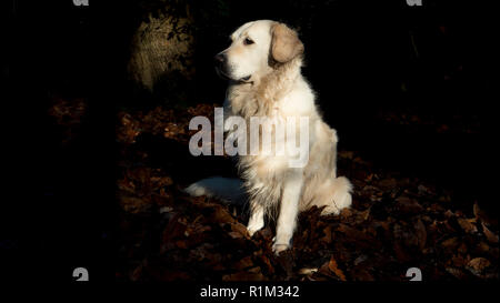 Golden Retriever outside in the woods facing left. Cute dog sitting in the woods - Stock Image
