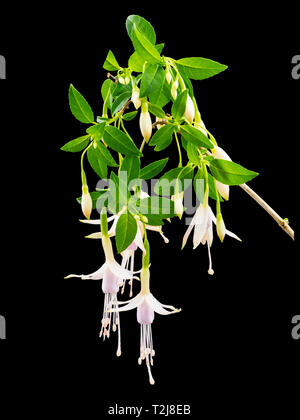 Pendant pale pink and white flowers of the hardy shrub, Fuchsia magellanica var molinae, against a black background - Stock Image
