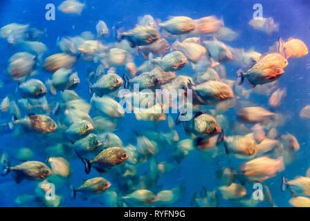 Motion blurred photograph of piranhas (Characidae) - Stock Image