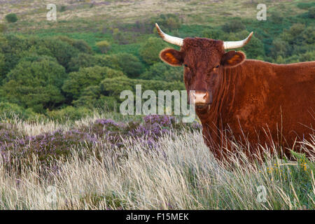 Red Devon cattle free ranging on the Quantocks, with copyspace - Stock Image