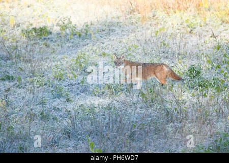 A coyote on a frosty morning. - Stock Image