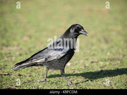 Carrion Crow, (Corvus corone), with partial leucism or leukism in plumage, Regents Park, London, United Kingdom - Stock Image