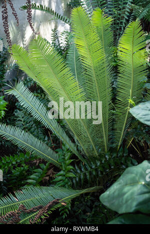 An exotic fern in shade - Stock Image