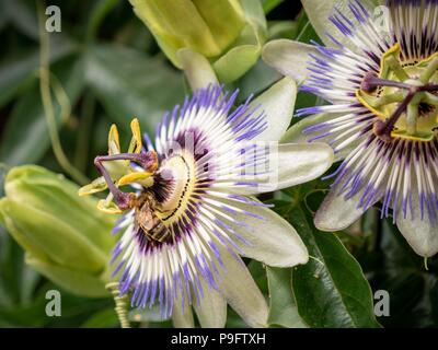 Honey bee collecting pollen from a blue passion flower - Stock Image