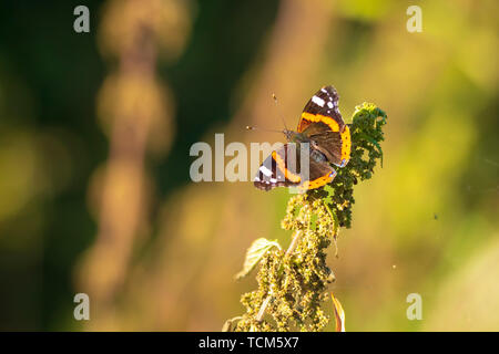 Red Admiral butterfly, Vanessa atalanta, resting on a stem in grassland. - Stock Image