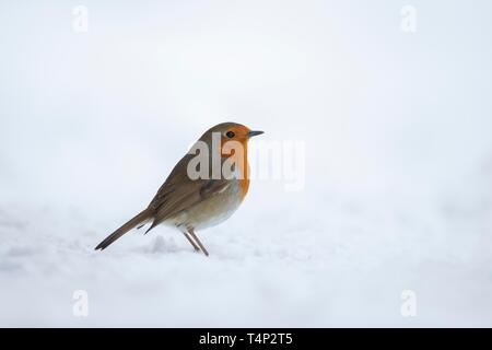 European robin (Erithacus rubecula), standing in snow, Suffolk, England, United Kingdom - Stock Image