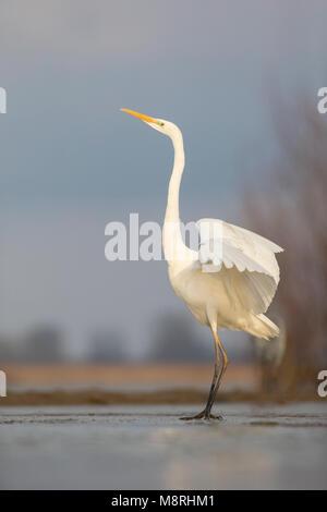 Great Egret (Ardea alba) standing on frozen marsh water - Stock Image