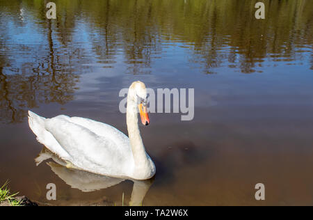 beautiful white swan swimming in a pond on sunny summer day - Stock Image