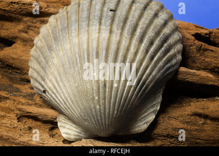 Seashell collected from the beach at Fort Morgan, Alabama, USA - Stock Image