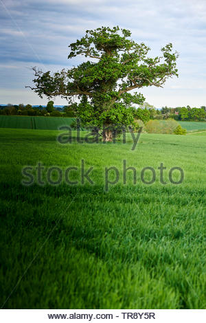 Trees in Stonesfield in the Cotswolds in Oxfordshire - Stock Image