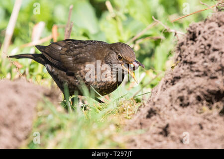 Stirlingshire, Scotland, UK - 31 March 2019: UK weather - a female blackbird swallows a large juicy worm as she takes advantage of  freshly dug soil in a Stirlingshire garden on a beautiful warm spring day Credit: Kay Roxby/Alamy Live News - Stock Image