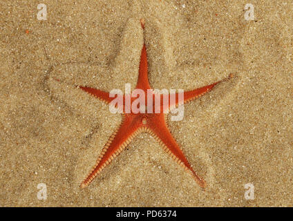 Orange Comb Starfish (Astropecten sp.) overview half buried in the sand and under a thin, transparent, layer of clear water. Lagoa de Albufeira beach, - Stock Image