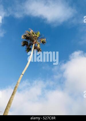 A palm tree Manhattan Beach, California USA. - Stock Image