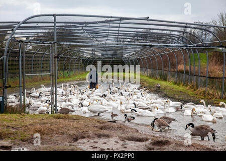 Reserve warden at WWT Caerlaverock, S-W Scotland, feeding swans from grain in a wheelbarrow inside the Swan Pipe so that the birds will become used to - Stock Image