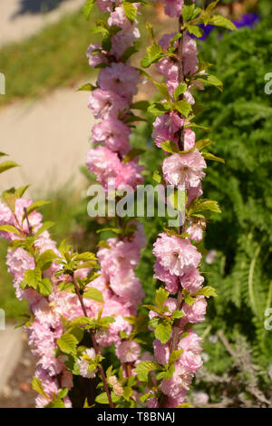 bush of almond with soft pink flowers, little hedge of prunus triloba louiseania early spring branches - Stock Image