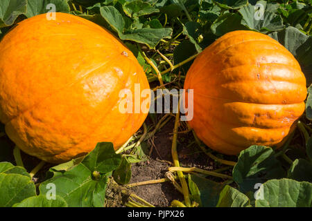 Two Pumpkins variety Atlantic Giant growing in Durham England in early autumn - Stock Image