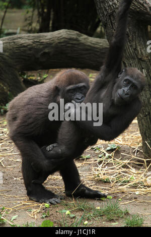 Lowland gorilla babies playing Cincinnati Zoo, Ohio - Stock Image
