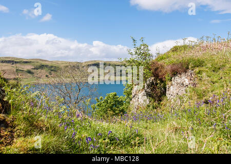 Wild Bluebells (Endymion nonscriptus) flowering in the open on top of Ardbhan Craigs in early summer on Scottish west coast. Oban, Scotland, UK - Stock Image