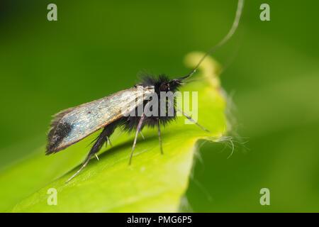 Adela reaumurella moth at rest on plant leaf. Tipperary, Ireland - Stock Image