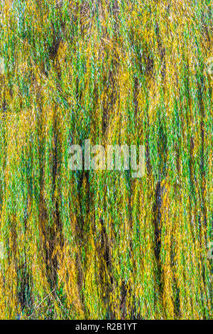 Autumn leaf colour on Willow tree, France. - Stock Image