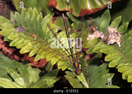 Beautiful demoiselle damselfly (Calopteryx virgo) female spreading her wings to deter courting male, UK. - Stock Image
