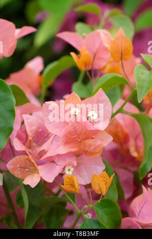 Bougainvillea 'Orange Glory' bracts and flowers. - Stock Image