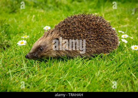 Hedgehog, wild, native, European hedgehog in natural garden habitat with green grass and white daisies. Facing left. Close up.Blurred green background - Stock Image