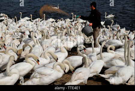 Abbotsbury Swannery, Abbotsbury, Dorset, UK, showing a bevy of wild Mute Swans (Cygnus Olor) numbering many hundreds at feeding time. - Stock Image
