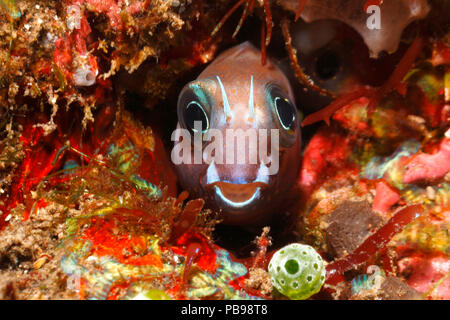 Midas Blenny, Golden Blenny or Lyretail Blenny, Ecsenius midas, peering out of its home in a hole in the reef. Tulamben, Bali, Indonesia. - Stock Image