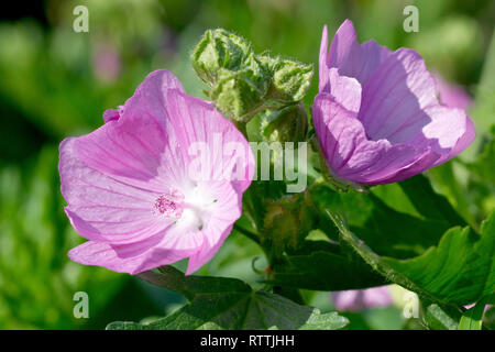 Musk Mallow (malva moschata), close up of a couple of flowers. - Stock Image