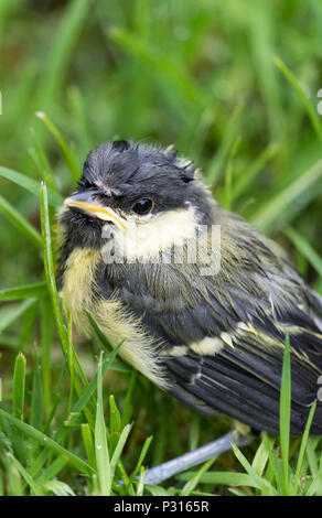 Close up of Great Tit (Parus Major) fledgling bird sitting in the grass lawn in a garden soon after fledging - Stock Image