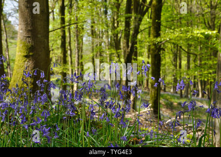 Bluebells in sunlite beech woods convey a peacefull,tranquil feeling to assist general wellbeing. Somerset.UK - Stock Image