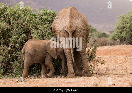 Baby elephant pushing mother while she is eating, trying to get her attention (African Elephant, Loxodonta Africana) - Stock Image