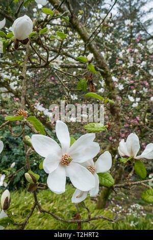 Star Magnolia, Magnolia Stellata, white flowers during spring, England, UK - Stock Image