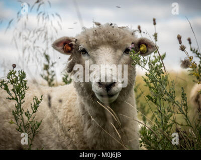 Curious Sheep with ear tags in meadow - Stock Image
