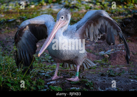 A Pelican holds its wings out to dry. - Stock Image