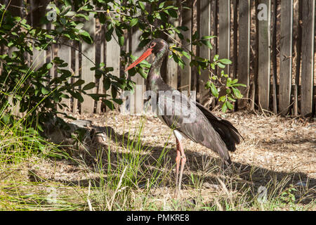 Black stork at Los Hornos Recovery Center of Wildlife, Caceres, Spain - Stock Image