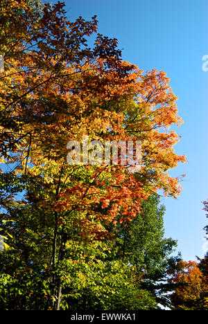 Tree leaves in stunning vibrant autumn colours Canyon Sainte Anne park Quebec - Stock Image