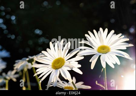 Back-lit Shasta daisies at sunset. - Stock Image