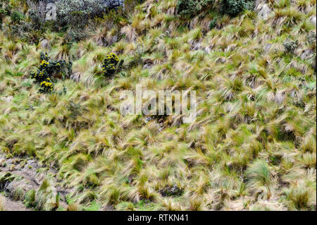 Paramo grass on the hillside of Cajas National Park Ecuador - Stock Image