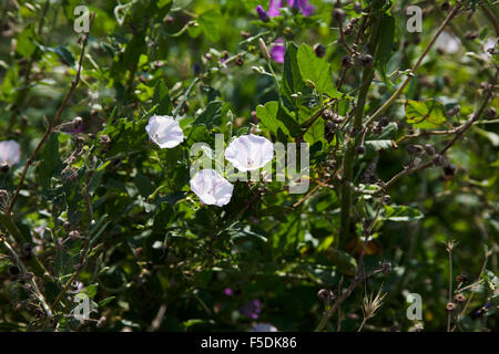 Sea Bindweed growing  on Beeston Hump above Sandy cliffs Sheringham North Norfolk England - Stock Image
