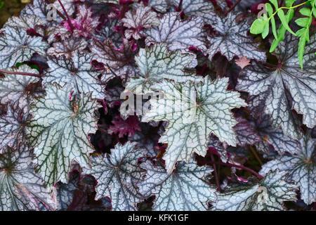 Decorative leaves of the Heuchera 'Blackberry Jam' in a garden border - Stock Image