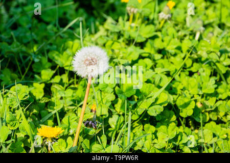 A dandelion clock made up of a head of wind borne seeds against a background of clover leaves in evening sunlight - Stock Image