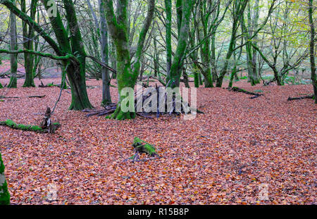Beech woodland floor in autumn covered in beech leaves with pile of firewood & trees in Dinefwr Park Llandeilo Carmarthenshire Wales UK  KATHY DEWITT - Stock Image
