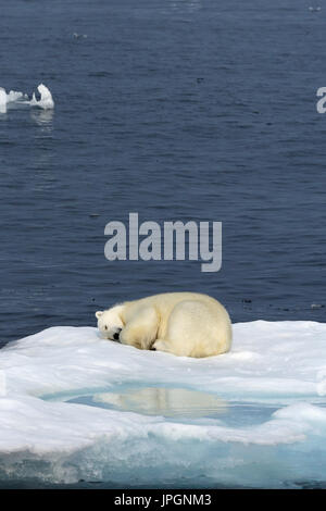 A male Polar Bear (Ursus maritimus) on the ice floe of Baffin Bay, Arctic Circle, sleeping - Stock Image