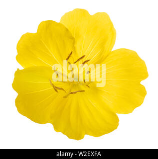 Common evening primrose flower isolated on white - Stock Image