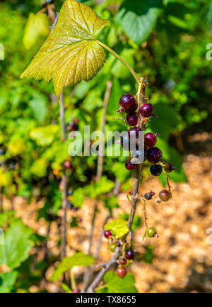 Italy Piedmont Turin Valentino botanical garden - Saxifragaceae - Ribes - Stock Image