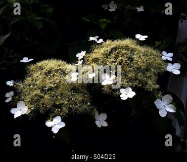 Climbing Hydrangea Flowers - Stock Image