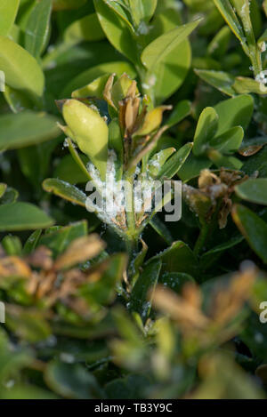 White waxy extrusion of box sucker or boxwood psyllid, Psylla buxi, on young box, Buxus sempervirens, foliage in spring, May - Stock Image